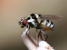 Primo piano della mosca - Anthomyia immagini stock
