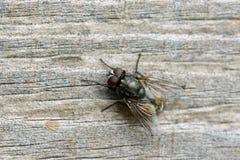Primo piano della mosca comune fotografia stock