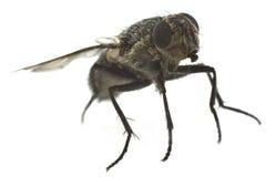 Primo piano della mosca isolato Fotografia Stock Libera da Diritti