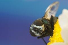 Primo piano della mosca sul fiore Fotografie Stock Libere da Diritti