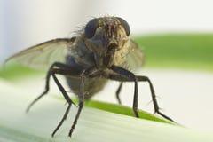 Primo piano della mosca sul fiore Immagine Stock Libera da Diritti