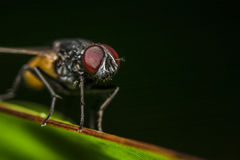 Primo piano della mosca sulla foglia della banana Immagini Stock