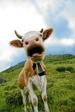 Primo piano della mucca con il segnalatore acustico Fotografia Stock Libera da Diritti