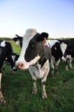Primo piano della mucca dell'Holstein Fotografie Stock Libere da Diritti