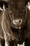 Primo piano della mucca di Brown Immagine Stock