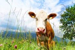 Primo piano della mucca fresca fotografia stock libera da diritti