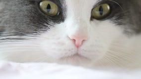 Primo piano della museruola del gatto archivi video