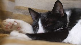 Primo piano della museruola del gatto in bianco e nero divertente, addormentata sulla poltrona video d archivio