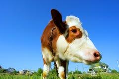 Primo piano della museruola della mucca che pasce sul campo - alla luce di tramonto Fotografia Stock