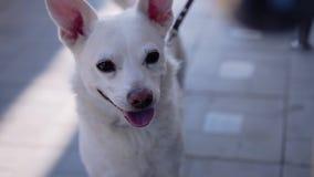 Primo piano della museruola di bello PLA bianco Il cane è legato vicino al deposito ed agli aspettare il suo padrone Molto bello  video d archivio