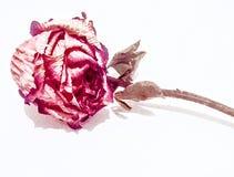 Primo piano della natura morta delle rose nell'illustrazione del vaso Immagini Stock Libere da Diritti