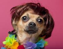 Primo piano della parrucca da portare della chihuahua e variopinto Fotografia Stock Libera da Diritti