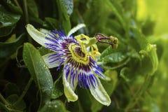Primo piano della passiflora nel giorno piovoso Fotografie Stock Libere da Diritti