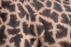 Primo piano della pelle della giraffa Immagini Stock Libere da Diritti