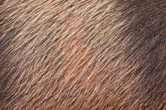 Primo piano della pelle e dei capelli di maiale Fotografia Stock