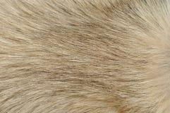 Primo piano della pelliccia del cane Fotografie Stock Libere da Diritti