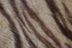 Primo piano della pelliccia della tigre Fotografia Stock Libera da Diritti