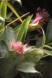 Primo piano della pianta dalla bromeliacea di Achmea della giungla Fotografia Stock
