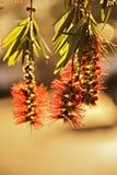 Primo piano della pianta del bottlebrush Fotografia Stock Libera da Diritti