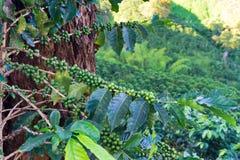 Primo piano della pianta del caffè Immagini Stock