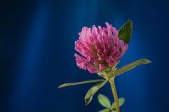 Primo piano della pianta del petalo del fiore del trifoglio contro fondo blu Immagini Stock