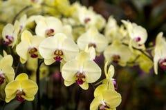 Primo piano della pianta di fioritura dell'orchidea gialla che fiorisce nel parco fotografia stock