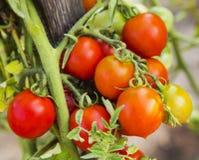 Primo piano della pianta di pomodori Fotografie Stock Libere da Diritti