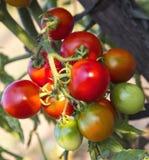 Primo piano della pianta di pomodori Fotografie Stock