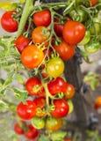 Primo piano della pianta di pomodori Immagini Stock