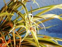 Primo piano della pianta di ragno fotografato all'interno immagine stock libera da diritti
