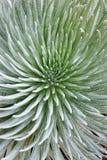 Primo piano della pianta di Silversword Fotografie Stock Libere da Diritti