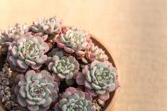 Primo piano della pianta succulente fotografia stock libera da diritti