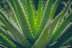 Primo piano della pianta tropicale verde Aloe vera Fotografie Stock