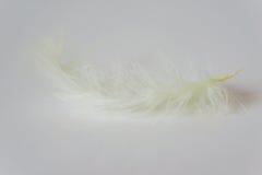 Primo piano della piuma giallo pallida delicata del pollo sulla tavola bianca Fotografia Stock