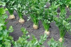 Primo piano della radice della piantagione del sedano e ortaggi a foglia in immagine stock libera da diritti
