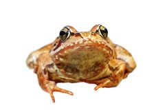 Primo piano della rana comune europea sopra bianco Immagini Stock Libere da Diritti