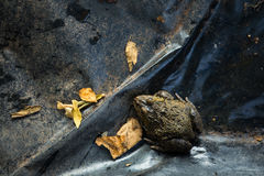 Primo piano della rana nell'azienda agricola della natura, Tailandia Fotografia Stock