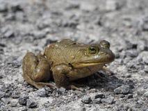 Primo piano della rana toro che si siede su una strada della ghiaia fotografia stock