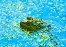 Primo piano della rana verde in acqua Fotografia Stock Libera da Diritti