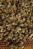 Primo piano della regina del cerchio delle api Immagine Stock Libera da Diritti