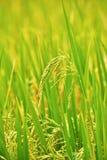 Primo piano della risaia Fotografie Stock Libere da Diritti