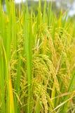 Primo piano della risaia Fotografia Stock