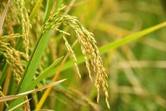 Primo piano della risaia Fotografia Stock Libera da Diritti