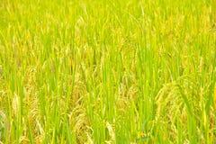 Primo piano della risaia Immagine Stock Libera da Diritti