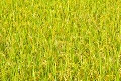 Primo piano della risaia Fotografie Stock
