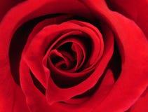 Primo piano della Rosa immagini stock