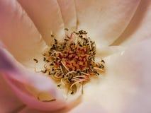 Primo piano della Rosa Fotografia Stock