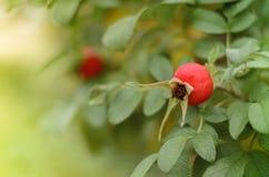 Primo piano della rosa canina acceso dal sole Fotografie Stock