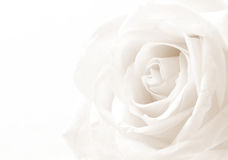 Primo piano della rosa di bianco come fondo Fuoco molle Nella seppia tonificata r Fotografia Stock Libera da Diritti