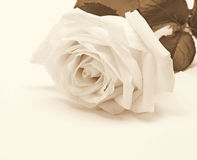 Primo piano della rosa di bianco come fondo Nella seppia tonificata Retro stile Immagine Stock Libera da Diritti